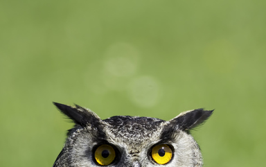 Thumb wise old owl stare
