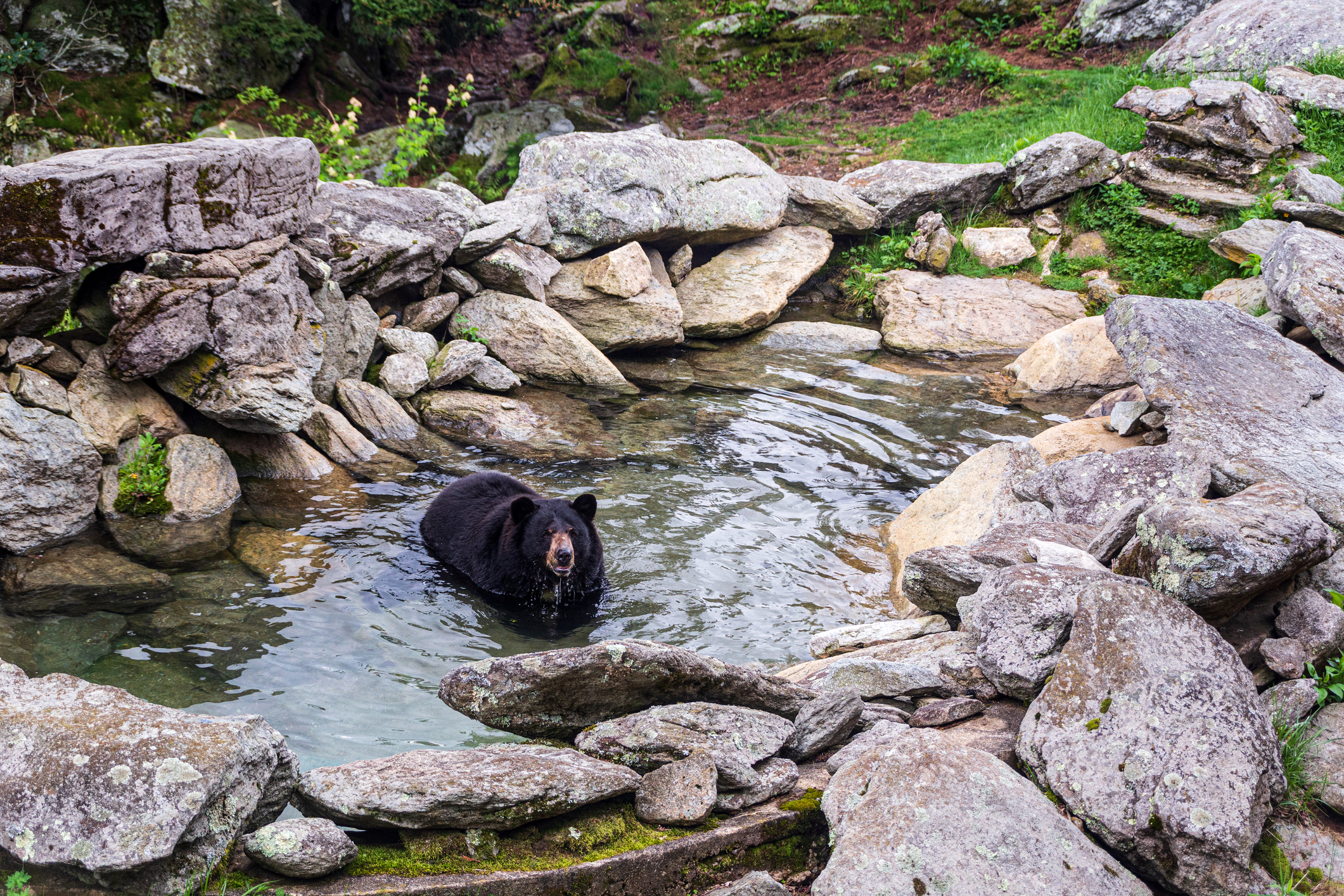 Black bear playing in a rock pool