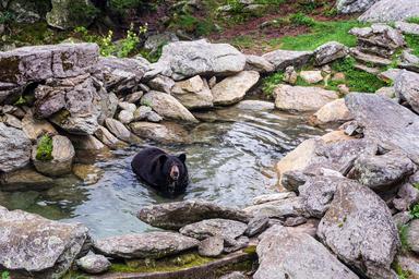 Thumb black bear playing in a rock pool