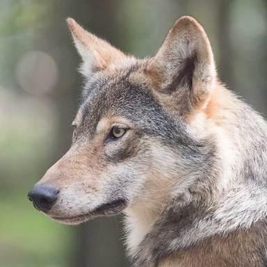 Thumb blog imgs wolf